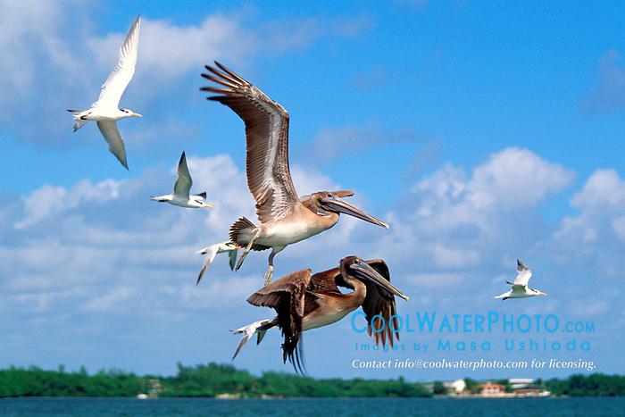 juvenile brown pelicans, Pelecanus .occidentalis, and royal terns, Sterna .maxima, in flight, John Pennekamp .Coral Reef State Park, Key Largo, Florida.