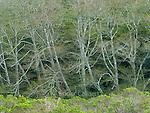 Budding Red Alders, Alnus rubra, Redwood Creek, Mount Tamalpais State Park, Marin County, California