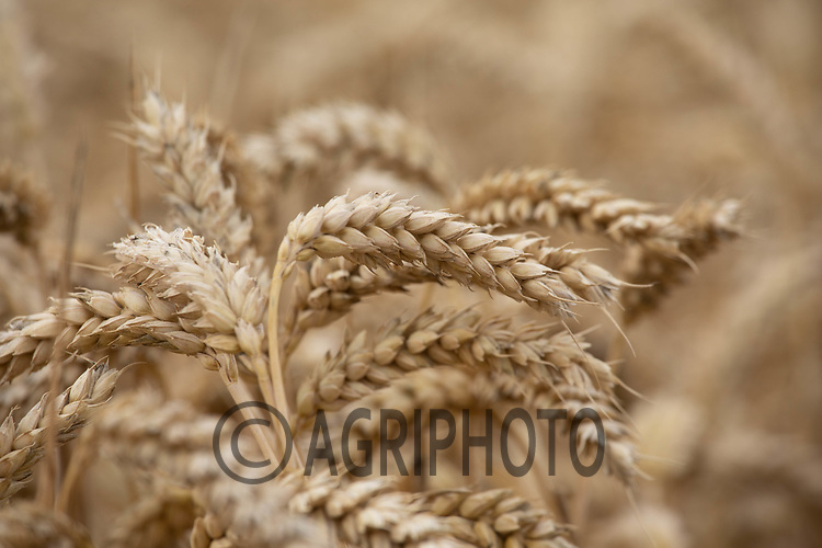 24.7.2020  Winter wheat ready for Harvest<br /> ©Tim Scrivener Photographer 07850 303986<br />      ....Covering Agriculture In The UK.