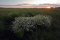 German chamomile (Matricaria recutita) bush on the infinitive grassland of Hortobagy National Park, Hungary