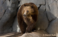 0325-1011  Grizzly Bear, Ursus arctos horribilis  © David Kuhn/Dwight Kuhn Photography.