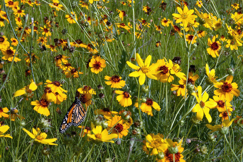 Mix of wildlflowers with monarch on a sunny spring morning.