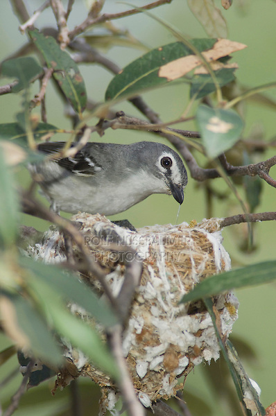 Plumbeous Vireo, Vireo plumbeus, adult on nest, Madera Canyon, Arizona, USA, May 2005