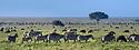 Herds of white-bearded wildebeest (Connochaetes taurinus albojubatus) and plains or Burchell's zebra (Equus quagga burchellii) on the short grass plains near Ndutu. Ngorongoro Conservation Area / Serengeti National Park, Tanzania, East Africa (digitally stitched image)