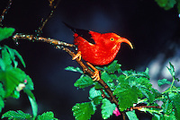 The Iiwi (Vestiaria coccinea)is a Hawaiian honeycreeper that feeds on nectar. It is a major pollenator of native flowers. This native forest bird is abundant in ohia forest at elevations over 4,500 feet. The feathers were used by Hawaiian royality f