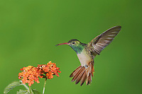 Buff-bellied Hummingbird (Amazilia yucatanenensis), male feeding on lantana, Sinton, Corpus Christi, Coastal Bend, Texas, USA