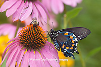 03004-012.06 Pipevine Swallowtail Butterfly (Battus philenor) male on Purple Coneflower (Echinacea purpurea) Marion Co., IL