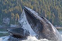 humpback whale, Megaptera novaeangliae, bubble net feeding, Angoon, Chatham Strait, Alaska, USA, Pacific Ocean