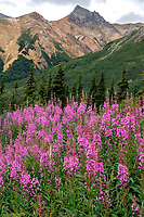Summer landscape of Fireweed and Sheep Mountain in the Glacier View area along the Glenn Highway.                                Photo by Jeff Schultz/SchultzPhoto.com  (C) 2018  ALL RIGHTS RESERVED<br /> <br /> Bill Daly Photo Tour July 2016