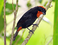 Adult Puerto Rican bullfinch, an endemic