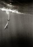 USA, Hawaii, spinner dolphins diving, Kealakekua Bay (B&W)