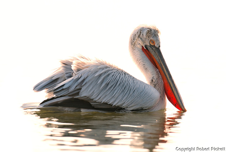 Dalmatian Pelican, Pelecanus crispus, in Breeding Plumage, Kerkini Lake, Greece, Vulnerable IUCN Red List 2007 and on Appendix I of CITES