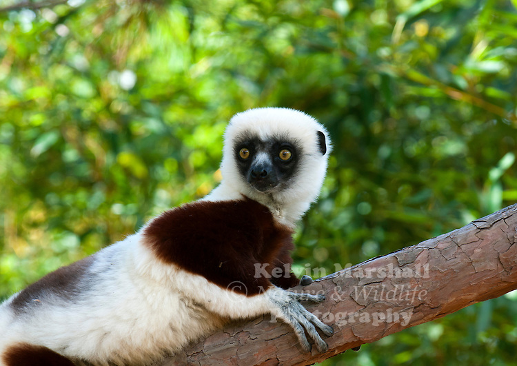 Coquerel's sifaka (Propithecus coquereli) is a diurnal, medium-sized lemur of the sifaka genus Propithecus. Like all lemurs, it is endemic to Madagascar. It was once considered to be a subspecies of Verreaux's sifaka, but was eventually granted full species level. Lemur park, Antananarivo - Madagascar.
