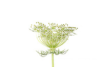 30099-00707 Queen Anne's Lace (Daucus carota) (high key white background) Marion Co. IL