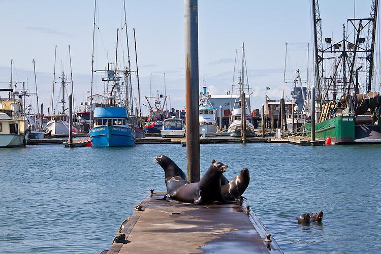 Washington Coast, California Sea Lions, Zalophus californianus, Westport, commercial fishing boats, Port of Westport, Grays Harbor County, Southwest Washington, Washington State, Pacific Northwest, USA,
