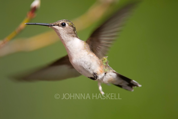 Female Ruby-throated hummingbird shortly after ovulation.