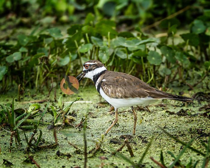 Killdeer standing in duckweed with beak open
