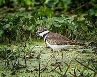 Killdeer standing in duckweed with beak open