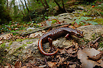 A Cave Salamander (Speleomantes strinatii), Italy.