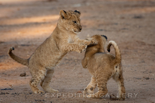 African lion cub siblings playing together, Lower Zambezi National Park, Zambia. (This species is found in many African countries including South Africa, Botswana, Zambia, Zimbabwe, Namibia, Tanzania, Kenya, Rwanda, Uganda)