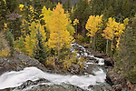 Bear Creek falls in the Uncompahgre River drainage, flowing past a stand of Aspen in their autumn splendor among conifers, San Juan Mountains, Colorado, USA.