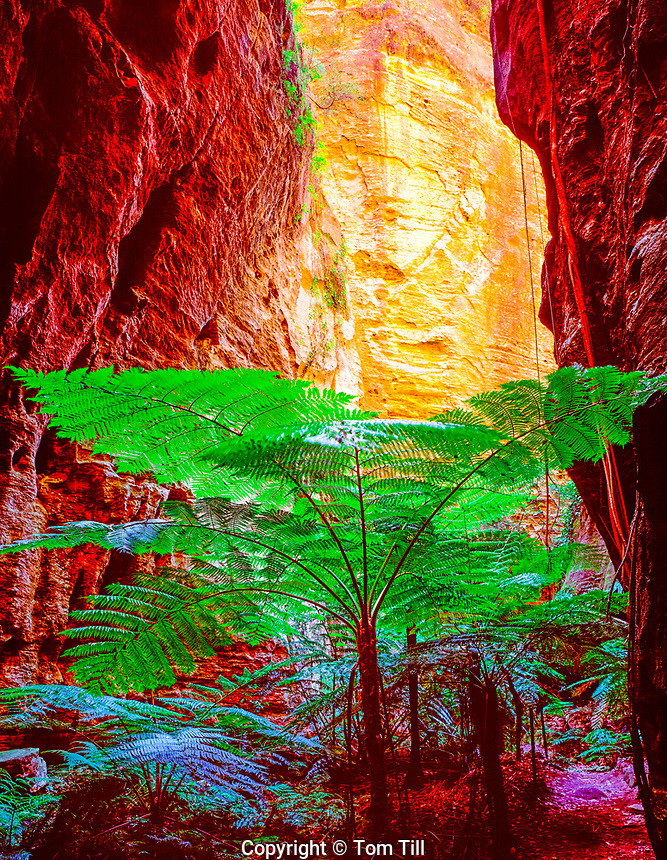 Rare king ferns in a slot canyon Carnarvon National Park Queensland, Australia Todea barbara Fronds 15' 45 VIC m