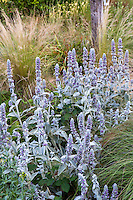 Stachys lanata (aka S. byzantina) Lamb's Ear, gray foliage perennial flowering in meadow garden - Barbata garden, Walnut Creek, California