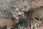 Doe with fawn in Zion NP
