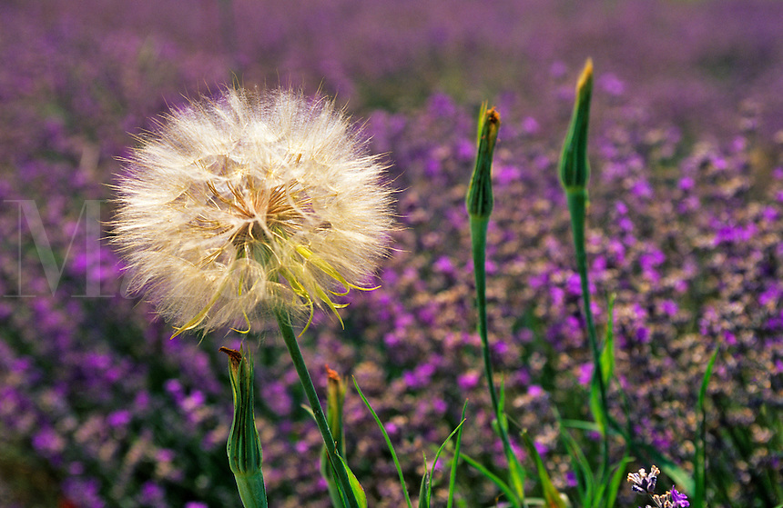 France. Provence.  Tragapogon seed head in a field of lavender.