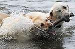 Two Labrador Retriever named Faith and Luke, splash around while tugging over a stick, thrown by their owner Debra Nessing of Vernon, Wednesday, June 8, 2011, as they cool off from a temperatures that reached into the 90's, at Bolton Lake in Bolton. (Jim Michaud/Journal Inquirer)