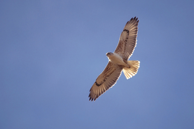 Ferruginous Hawk - Buteo regalis - Adult