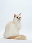Ragdoll, Female, 9 months old, Flame Point Colour