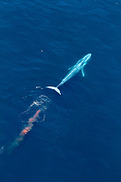 blue whale, Balaenoptera musculus, excreting and leaving redish feces behind, endangered species, Channel Islands National Marine Sanctuary, California, USA, Pacific Ocean