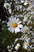 Ox-Eye Daisies (Crhysanthemum leucanthemum) aka Marguerite (Leucanthemum vulgare) blooming in Spring
