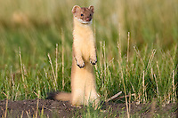 Long-tailed Weasel pauses while hunting gophers