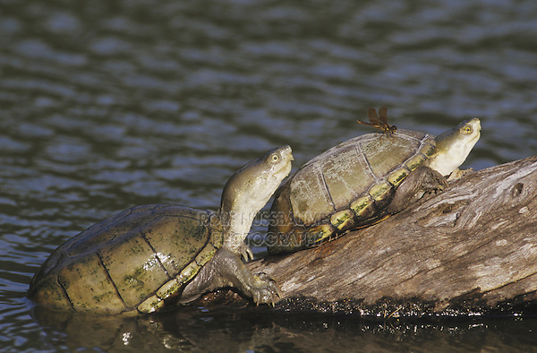 Yellow Mud Turtle (Kinosternon flavescens), adults sunning on log, Starr County, Rio Grande Valley, Texas, USA
