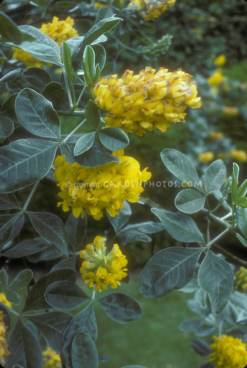 Cytisus battandieri in yellow flower