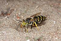 Geschnäbelte Kreiselwespe, Kreiselwespe, mit Beute, Bembix rostrata, Epibembix rostrata, Sand Wasp, le Bembex à rostre, Sphecidae