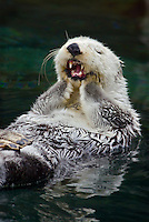 Sea Otter (Enhydra lutris) grooming..(Point Defiance Zoo & Aquarium, Tacoma, WA)