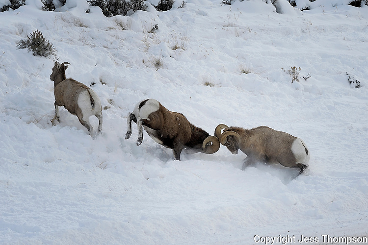 Bighorn Rams fight for dominance, Cody, Wyoming