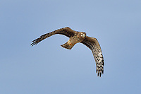 Northern Harrier, Bosque del Apache NWR
