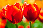 Close up of two red and orange tulips lit by the sun