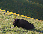 A bull bison bedded on a hill with arrowleaf balsamroot flowers in montana