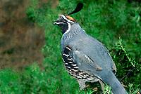 574470001 a wild male gambels quail callipepla gamelli perches in a small bush in madera canyon in southern arizona