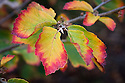 Autumn foliage of witch hazel Hamamelis vernalis (Purple Seedling Brotzman No 1), early November.