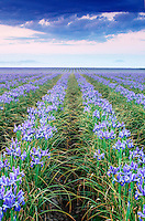 Field of blue iris on foggy morning, Mount Vernon, Skagit Valley, Skagit County, Washington, US