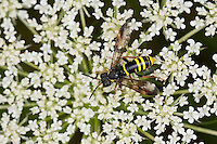 Gelbschwarze Blattwespe, Gelbschwarze-Blattwespe, Eschen-Blattwespe, Eschenblattwespe, Blattwespe, Weibchen beim Blütenbesuch, Nektarsuche, Tenthredo vespa, sawfly, saw-fly