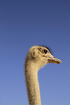 Israel, Arava, an Ostrich at the Hai Bar, the National Biblical Wildlife Reserve