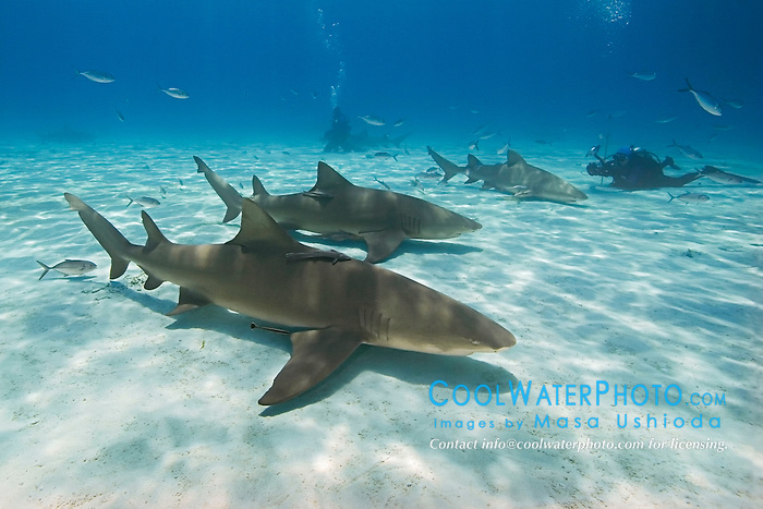 Lemon Sharks, Negaprion brevirostris, with sharksuckers, Echeneis naucrates, Blue Runner jacks, Caranx crysos, and scuba divers, West End, Grand Bahama, Bahamas, Atlantic Ocean.Chondrichthyes, cartilaginous, Elasmobranchii, Carcharhiniformes, Carcharhinidae, requiem shark, Negaprion brevirostris, lemon shark, Osteichthyes, bony fish, Actinopterygii, Echeneidae, remora, sharksucker, Echeneis naucrates, behavior, behavioral, symbiosis, commensalism, commensal, travel, trip, destination, Atlantic Ocean, Bahamas, Grand Bahama, people, human, human being, adult, female, woman, scuba, dive, diver, diving, scuba dive, scuba diver, scuba diving, shark dive, shark diving