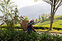 India - Sikkim - Tea plucker working at Temi Tea Estate, an organic plantation owned by the government.